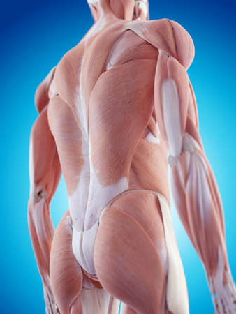 dorsi: medically accurate illustration of the back muscles Stock Photo