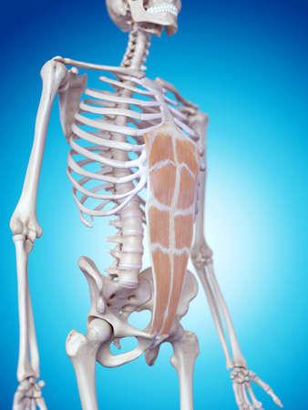 abdominis: medically accurate illustration of the rectus abdominis Stock Photo