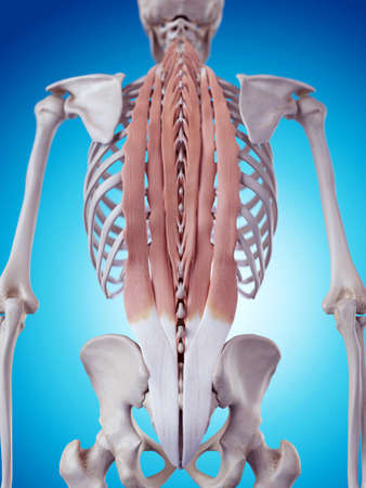 skeleton: medically accurate illustration of the deep back muscles