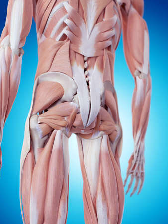 hip: medically accurate illustration of the back muscles Stock Photo