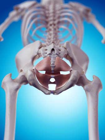 masculino: ilustración médica precisa de los músculos del suelo pélvico