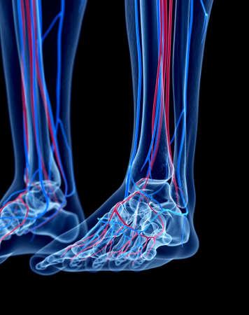 pies masculinos: el sistema vascular humano - el pie Foto de archivo