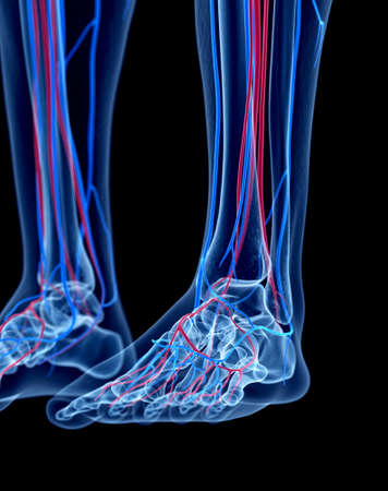 bones of the foot: the human vascular system - the foot Stock Photo