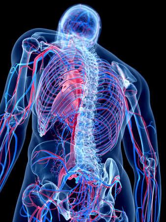 vascular: the human vascular system
