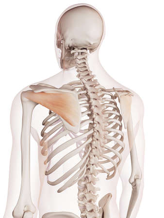 shoulder anatomy: medically accurate muscle illustration of the infraspinatus