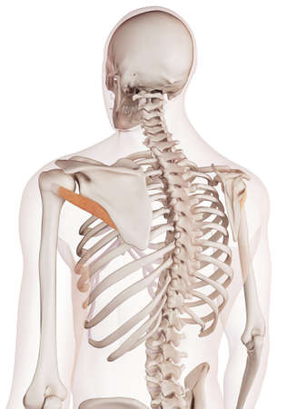 to minor: medically accurate muscle illustration of the teres minor Stock Photo