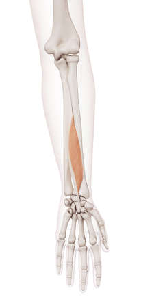 flexor: medically accurate muscle illustration of the flexor pollicis longus
