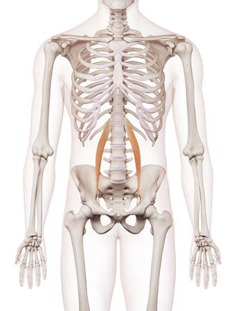 to minor: medically accurate muscle illustration of the psoas minor
