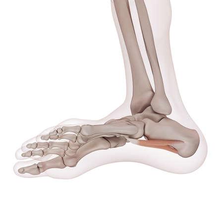 legs: medically accurate muscle illustration of the quadratus plantae Stock Photo