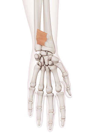 wrist joint: medically accurate muscle illustration of the palmaris brevis Stock Photo