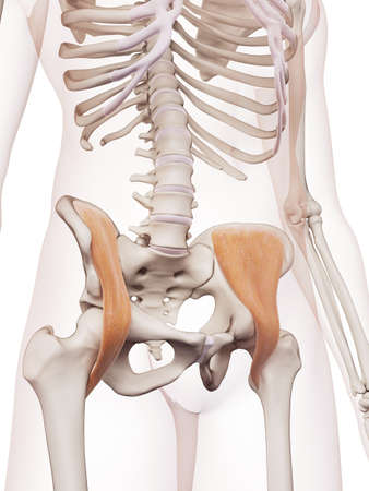 pelvic: medically accurate muscle illustration of the iliacus