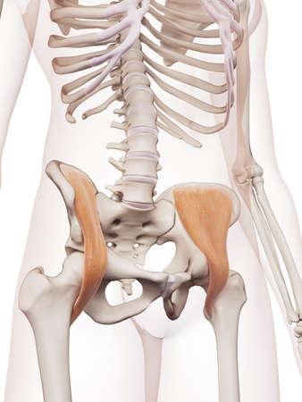 skelett mensch: medizinisch genaue Muskel Darstellung der iliacus