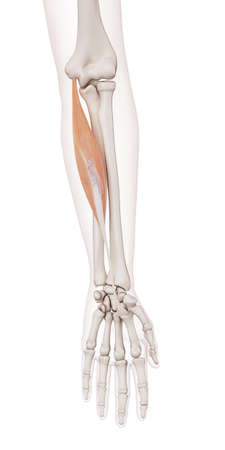 flexor: medically accurate muscle illustration of the flexor carpi radialis Stock Photo