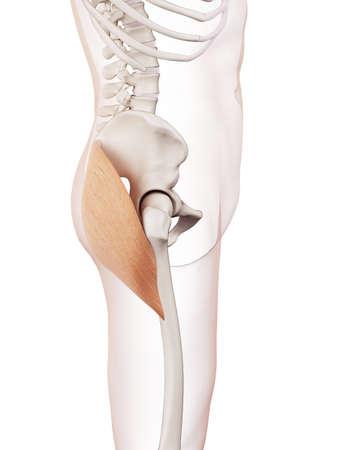musculo: ilustraci�n muscular m�dicamente exacta del gl�teo mayor Foto de archivo