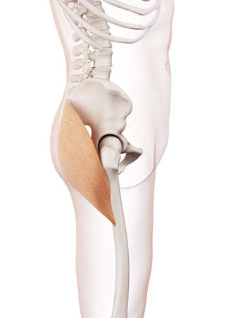 lateral: medically accurate muscle illustration of the gluteus maximus