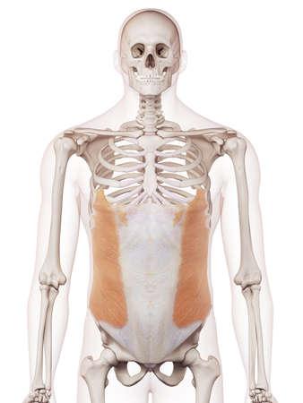 médicalement précise illustration musculaire du muscle oblique externe