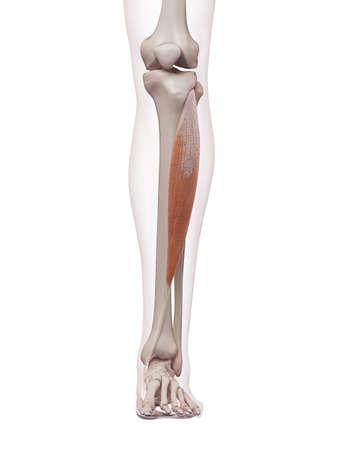 脛骨の医学的に正確な筋肉図