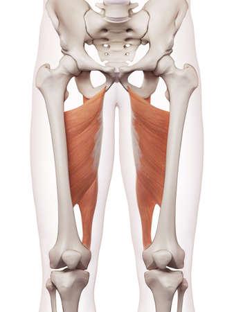 内転筋のマグナスの医学的に正確な筋肉図 写真素材