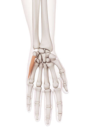 human finger: medically accurate muscle illustration of the abductor digiti minimi Stock Photo