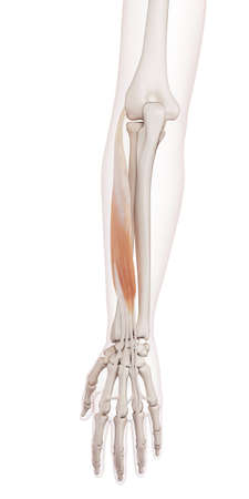 extensor: medically accurate muscle illustration of the extensor digitorum