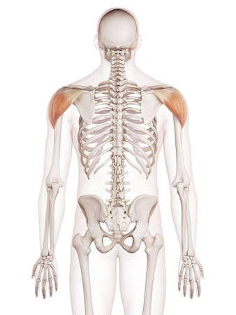 médicalement précise illustration musculaire du deltoïde Banque d'images