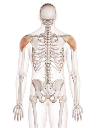 posterior: medically accurate muscle illustration of the deltoid Stock Photo