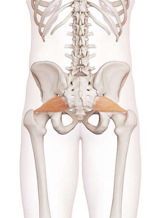 médicalement précise illustration musculaire des piriforme Banque d'images