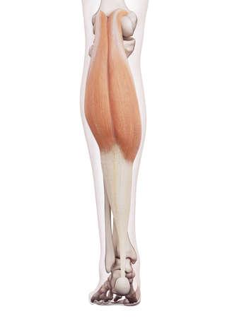piernas hombre: ilustración muscular médicamente exacta del gastrocnemio Foto de archivo