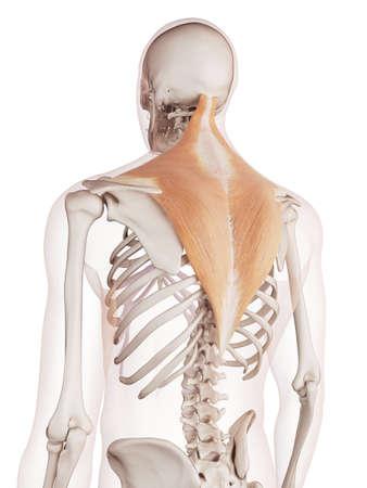 trapezius: ilustraci�n muscular m�dicamente exacta del trapecio