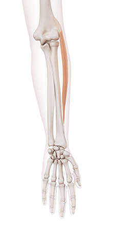 arm muscles: medically accurate muscle illustration of the extensor carpi radialis longus Stock Photo