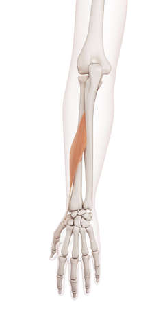 abductor: medically accurate muscle illustration of the abductor pollicis longus Stock Photo