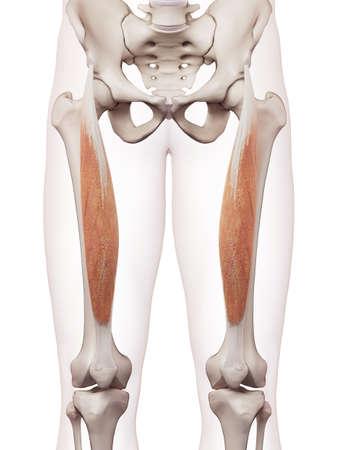 piernas hombre: ilustración muscular médicamente exacta del recto femoral Foto de archivo