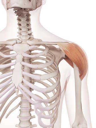 skelett mensch: medizinisch genaue Muskel Darstellung der Deltamuskel Lizenzfreie Bilder