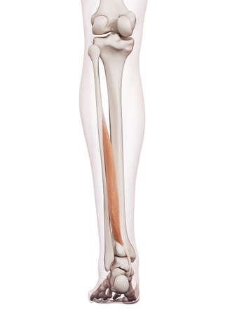 flexor: medically accurate muscle illustration of the flexor hallucis
