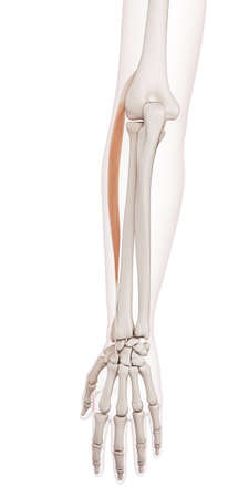 extensor: medically accurate muscle illustration of the extensor carpi radialis longus Stock Photo