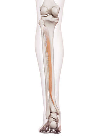 posterior: medically accurate muscle illustration of the tibialis posterior