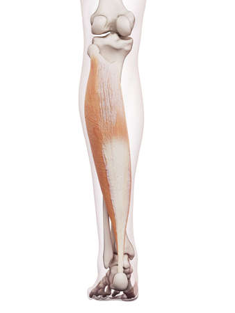 a leg: medically accurate muscle illustration of the soleus