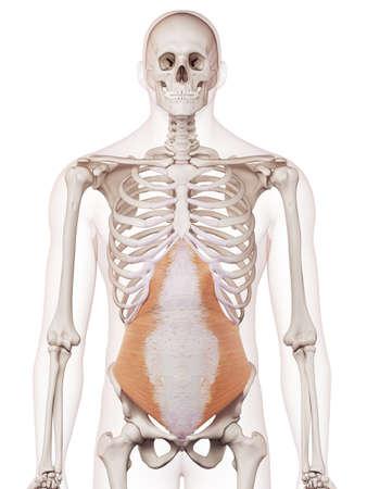 腹横筋の医学的に正確な筋肉図 写真素材