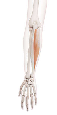 flexor: medically accurate muscle illustration of the flexor carpi ulnaris