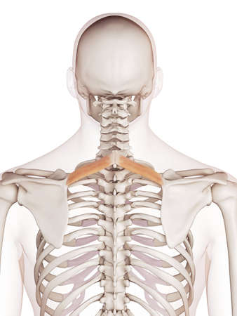 to minor: medically accurate muscle illustration of the rhomboid minor