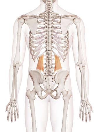 pelvic: medically accurate muscle illustration of the quadratus lumborum