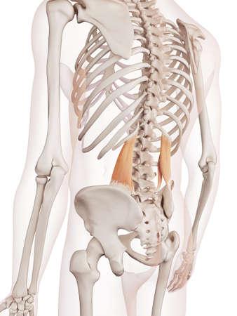 posterior: medically accurate muscle illustration of the quadratus lumborum