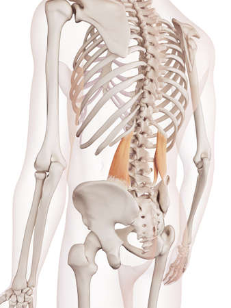 medically accurate muscle illustration of the quadratus lumborum