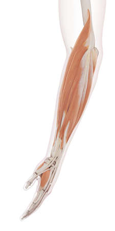 arm muscles: medically accurate muscle illustration of the lower arm muscles