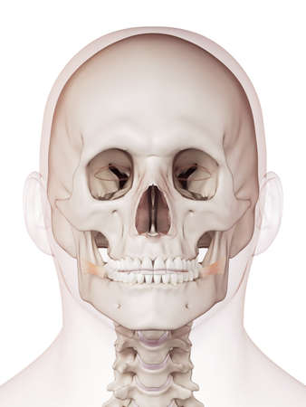 facial muscles: medically accurate muscle illustration of the risorius