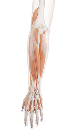 anatomia: ilustración muscular médicamente correcta de los músculos del antebrazo