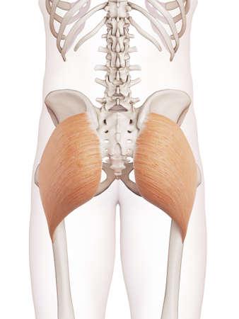 anatomia: ilustración muscular médicamente exacta del glúteo mayor Foto de archivo