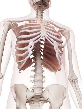 human bones: medically accurate muscle illustration of the innermost intercostals