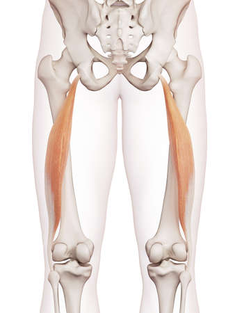 thighs: medically accurate muscle illustration of the biceps femoris longus Stock Photo