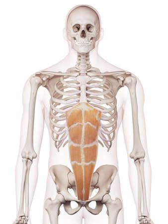腹直筋の医学的に正確な筋肉図 写真素材